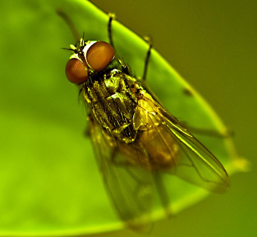 lalat by ARO
